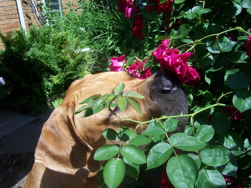 Dog_boerboel_sampson_roses_3